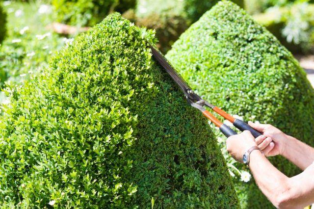 buchsbaum schneiden gartenscheren formen kegeln