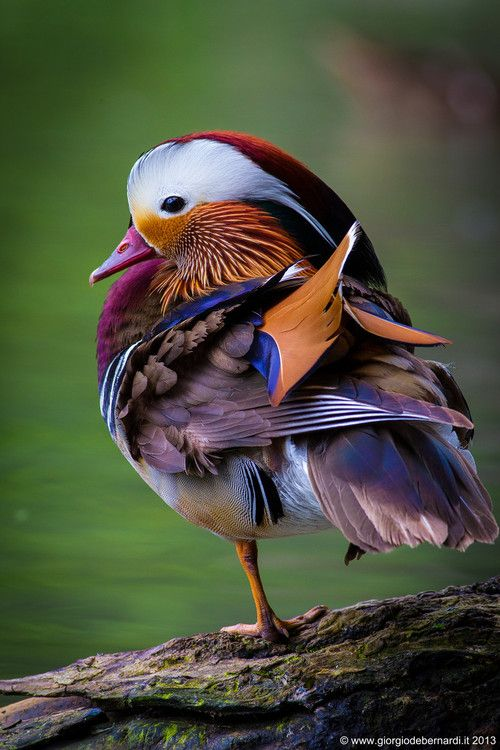Pato Mandarin, HERMOSO!!!
