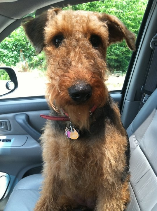 """""""Officer, it drove itself!"""" #dogs #pets #Airedales Facebook.com/sodoggonefunny"""