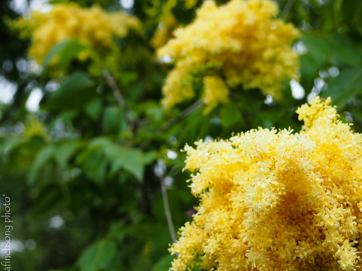 Syringa Pekinensis Zhang Zhiming Beijing Gold Lilac Tree