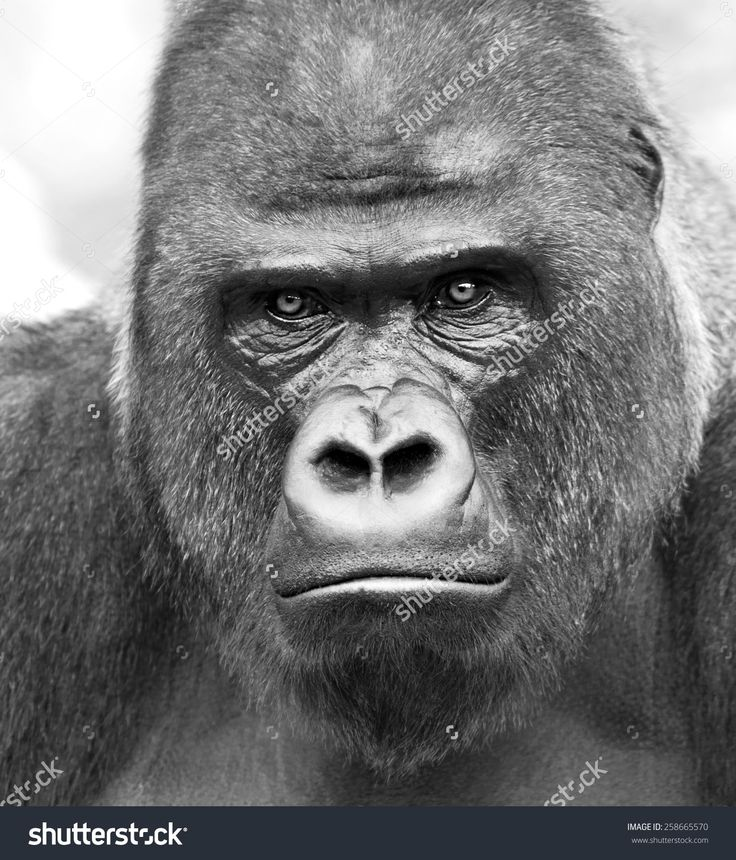 Black and white closeup portrait of a gorilla male, severe silverback on gray background. Stony stare of the great ape, the most dangerous and biggest monkey of the world. Chief of a gorilla family.