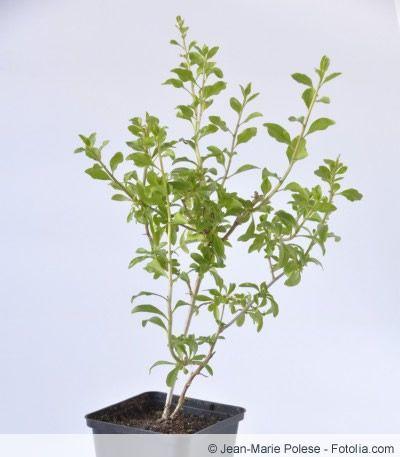 Goji-Pflanze