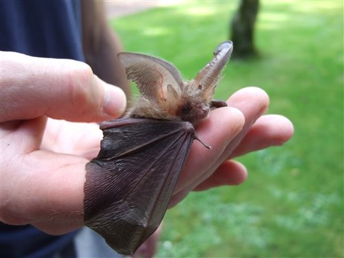 This Brown Long-eared Bat was found on a garden wall in sunlight- click photo- for more images and full story about how it was rescued! A heart-warming message of kindness! <3