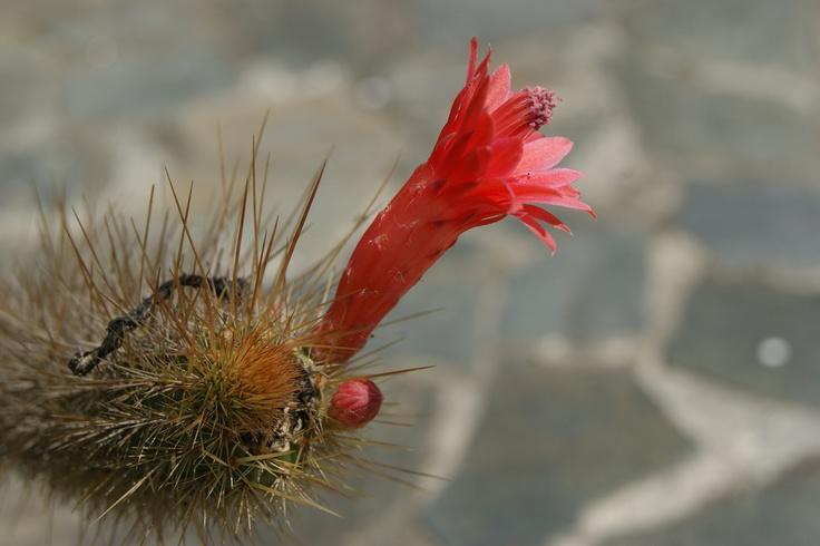 Tunas y flor