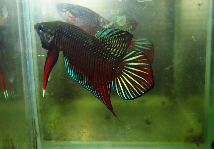fwbettas1418318447 - Wild Types Betta splendens Male