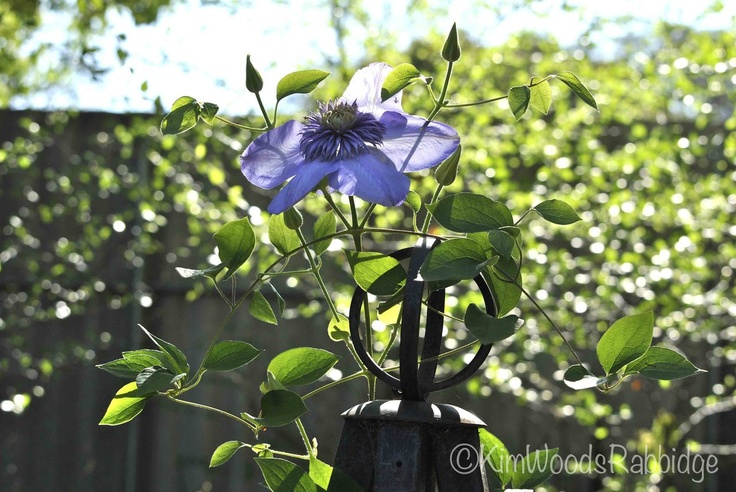 Clematis 'Blue Light' on a circle finial from The Garden Tool Shop  www.gardentoolshop.com.au