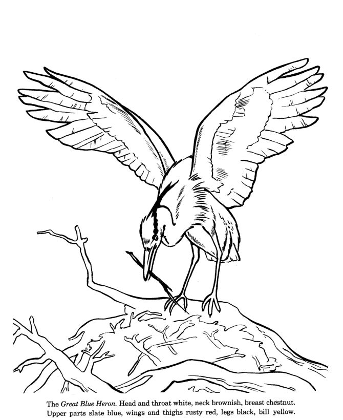 Heron Bird Coloring Pages Great Blue Heron drawing and coloring page seaStars and