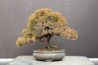 Új cikk: KÉT SHOHIN BONSAI BESZÉLGET : YAMADORI BONSAI YAMADORI BONSAI , BONSAI YAMADORI -  MAGA BONSAI VAGY YAMADORI?, http://kertinfo.hu/ket-shohin-bonsai-beszelget-yamadori-bonsai-yamadori-bonsai-bonsai-yamadori-maga-bonsai-vagy-yamadori/, ezekben a témakörökben:  #Beltérinövények #bonsai #bonsaialakitasa #bonsairestyling #juniperus #Kert #Kéziszerszámok #Konyhakertieszközök #Mag #marczikabonsaistudioérd #Tanácsésötlet #yamadori, írta: Marczika Kertészet