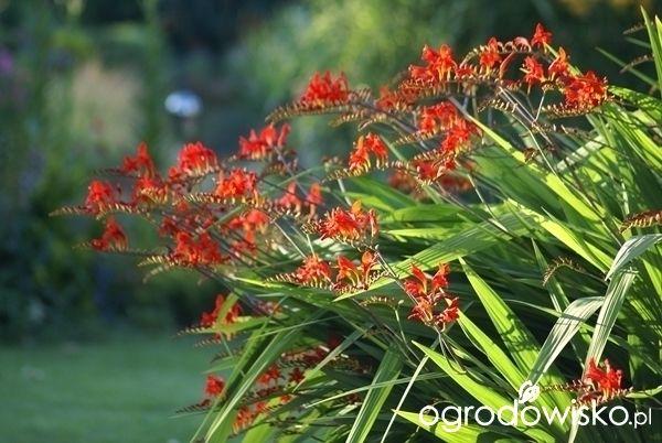 Ogrodnik Mimo Woli cd - strona 2201 - Forum ogrodnicze - Ogrodowisko