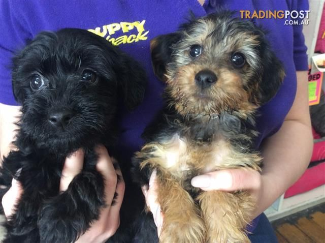 Australian Terrier X Toy Poodle Aussiedoodle Puppies At Puppy