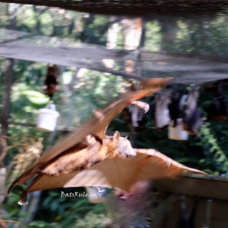 Rehab Megabat Little Reds flying 18/02/2017 Flying-fox Fruit Bat  http://www.batsrule.info/2017/02/rehab-megabat-little-reds-flying.html