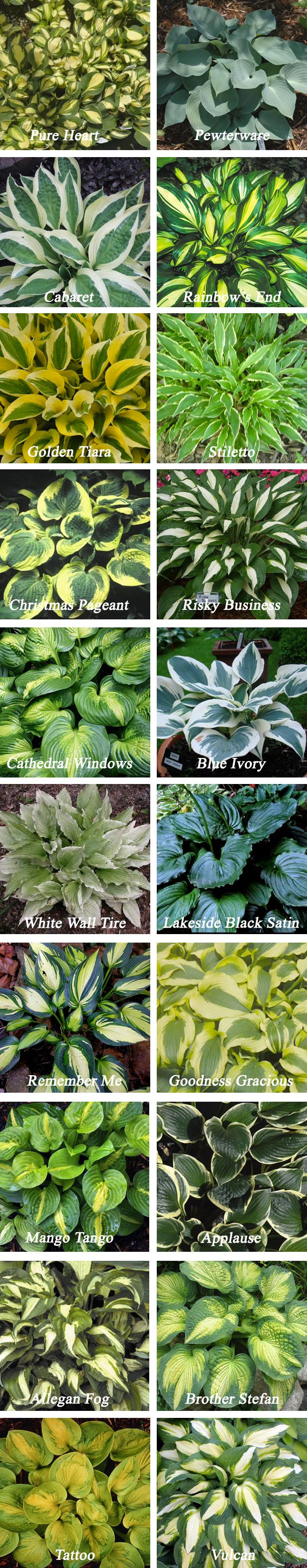 Types of hostas. Zones 3-8. Blooms summer or fall. Light to full shade. 6'' to 3' tall, 6'' to 5' wide.