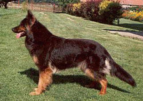 Bohemian Shepherd, hunderase, hunderaser, hund, hunder, rase, rasehund ...