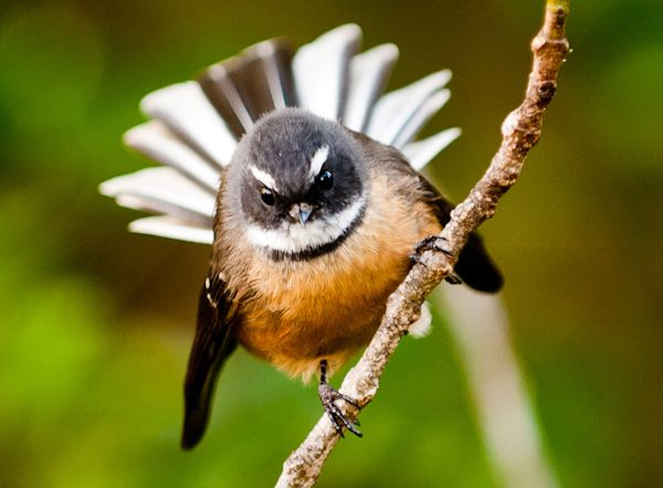 Image from http://markcoote.com/wp-content/uploads/2011/05/Fantail-04.jpg.