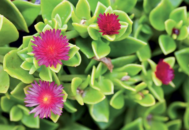 O arbusto orelha-de-onça tem comportamento ideal para o uso como cerca viva ou em maciços. Floresce no verão e precisa de sol pleno