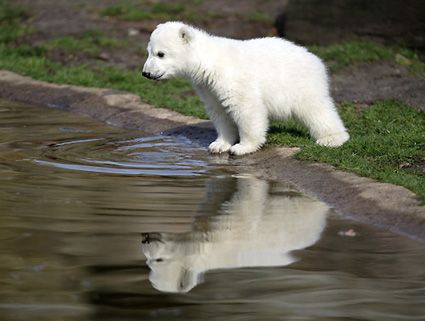 beautiful things | to be hunted for profit polar bears are beautiful living things ...