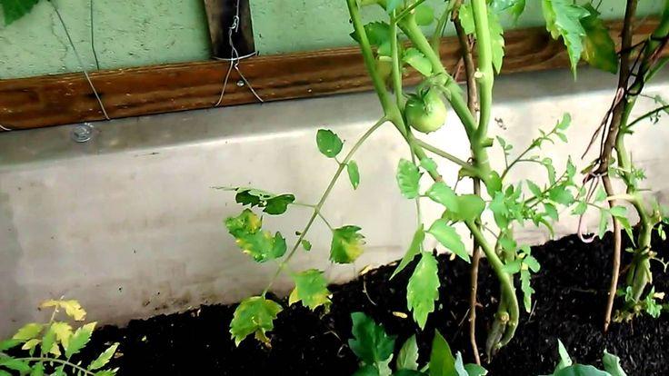 http://waldomiro1.wix.com/waldomiro1 Como podar tomateiros e utilizar as folhas para afastar pragas.