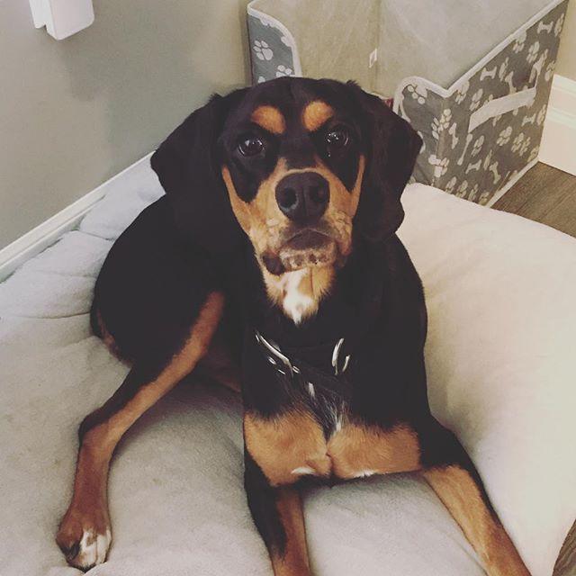 This dog is seriously the cutest!! #taz #dobermancockerspaniel #cockerspanieldoberman #dogsofinstagram