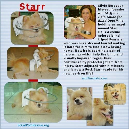 Starr is available at Southern California Pomeranian Rescue, Irvine,CA. Starr is a special needs 9-10 yr. old senior.