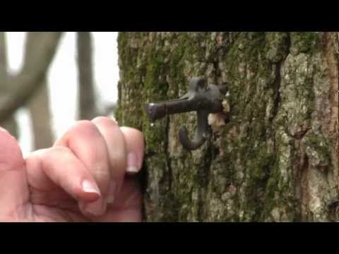 A very informative video about how to identify and tap a maple tree.  Learn where maple syrup comes from and look for a festival or sugarhouse to visit this sugaring season!