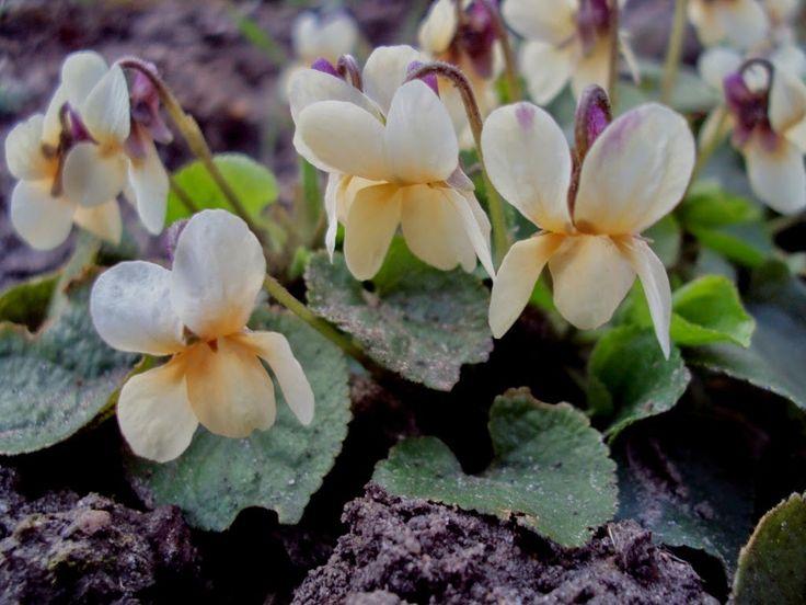 Viola 'Sulfurea'