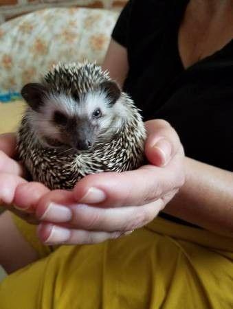 car sez on tucson craigslist what hedgehogs barn it