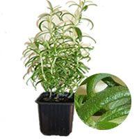 Como cuidar de Plantas Aromáticas - Alecrim