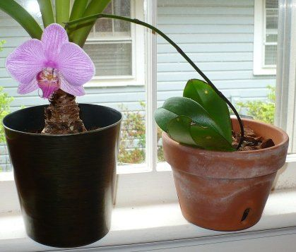 After having lost all its roots and later, all its leaves, I was able to bring this Phalaenopsis back from the brink. Early this spring, it rewarded me with a single flower.