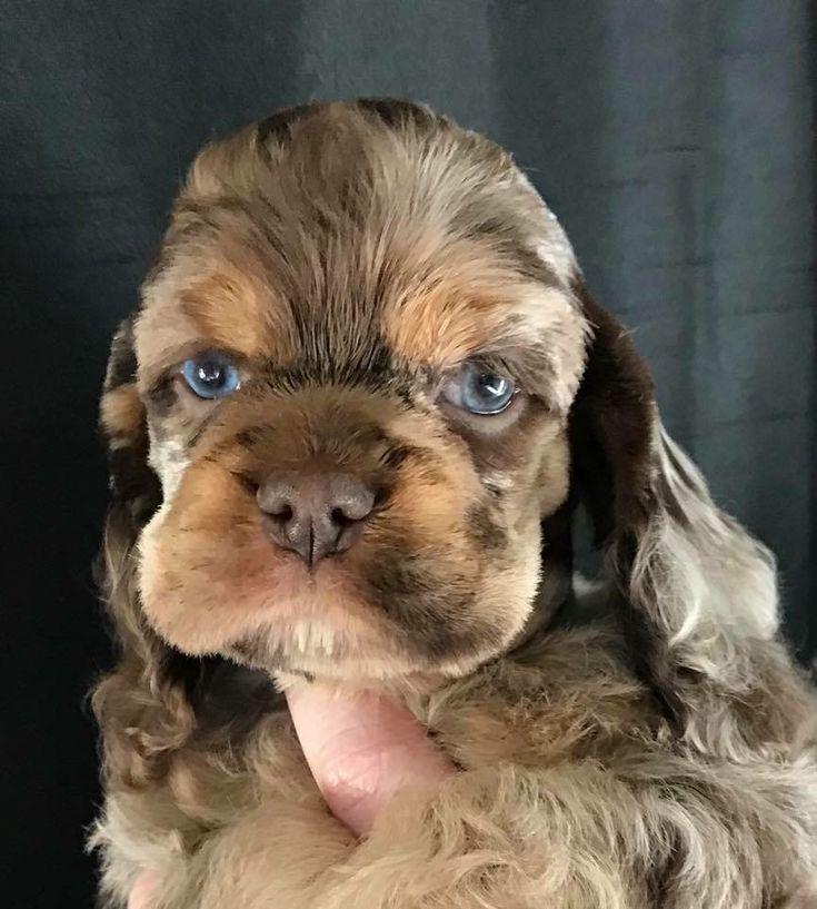 Merle Cocker Spaniel Cutepuppyfacepictures Cocker Spaniel Puppies Spaniel Puppies For Sale Puppies