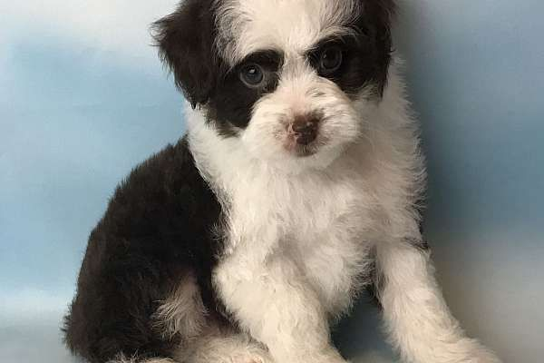 Yo! I am Banjo,  the fun-loving black and white male Mini Aussiepoo. .   I'm a designer breed between an Mini Australian Shepherd and Poodle. I'll come with shots and worming to date! I was born on Jan 14, 2017. I am loving, gentle and friendly.