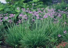Society Garlic: Leaves & flowers edible. African native plant. Zulu tribes use for medicinal purposes. Tastes peppery for a garlic.