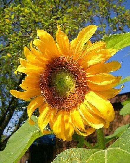 Sunflower....
