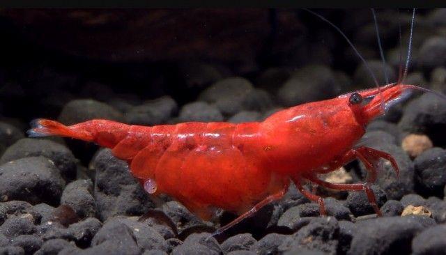 21 Most Beautiful Angelfish Tank Mates Make Your Aquarium Colorful Red Cherry Shrimp Cherry Shrimp Angel Fish