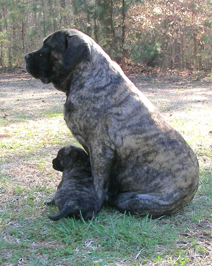 ... healthiest happiest most well socialized old english mastiff puppies
