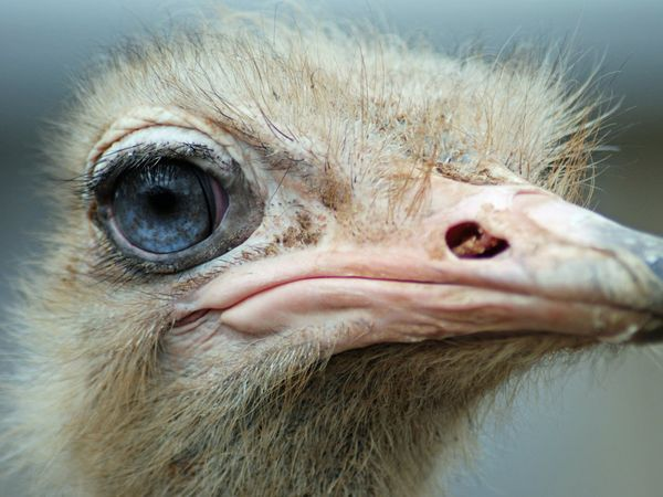 Ostrich    Photograph by Brian Gronberg, My Shot    Ostrich from the Louisville Zoo, with lovely blue eyes