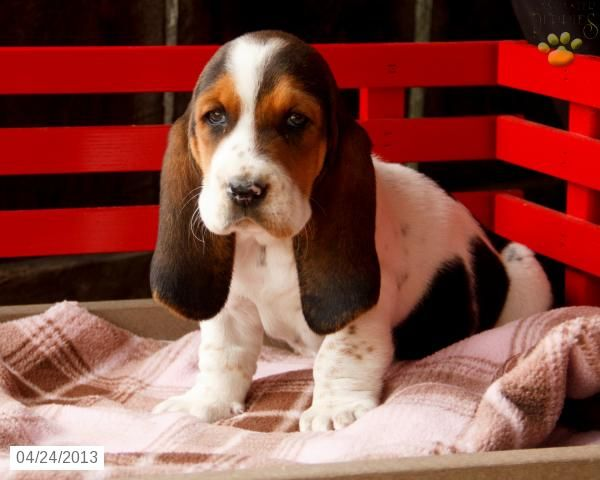 Cassie - Basset Hound Puppy for Sale in Myerstown, PA - Basset Hound - Puppy for Sale