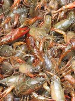 Down in Mississippi live whole crawfish is purchase in 35-45 pound mesh sacks made of plastic. Crawfish boil parties are very popular along the...
