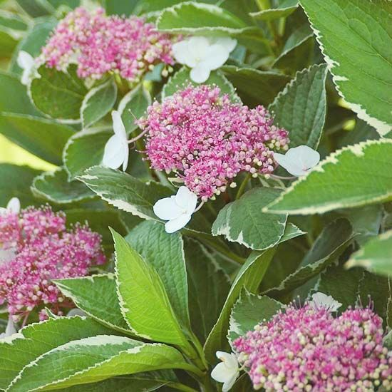 Light-O-Day Hydrangea  Variegated foliage is a perfect way to add season-long interest. We love the crisp white edges around this shrub's foliage. Its early summer blooms -- clusters of pink or blue lacecap-type flowers -- are a nice accent to the leaves.  Name: Hydrangea 'Light-O-Day'  Growing Conditions: Afternoon shade and moist, well-drained soil  Size: To 5 feet tall and wide