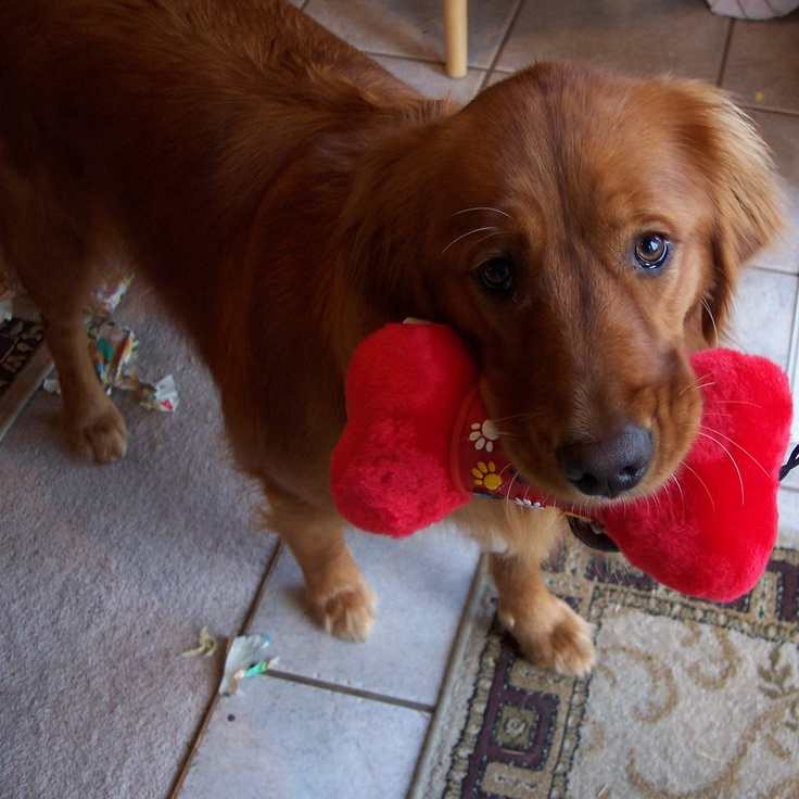 Dark red golden retriever puppy