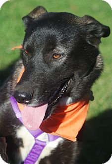 Pictures of Houdini gal fun smart a Husky/Labrador Retriever Mix for adoption in Sacramento, CA who needs a loving home.