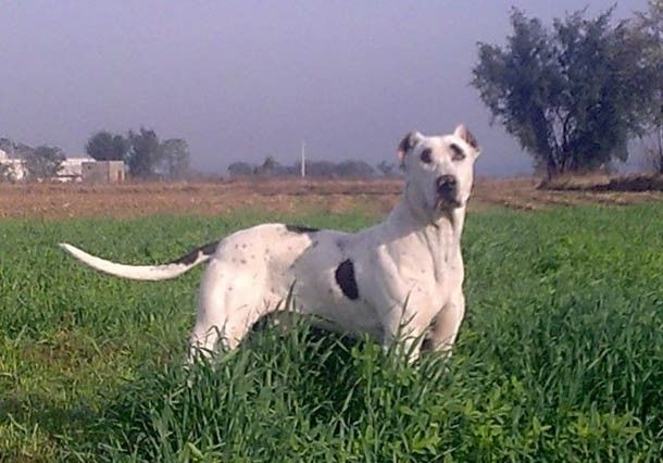 10 Of The World's Largest Dog Breeds - Page 5 of 11 - Bulletin Daily News - Bulletin Daily News