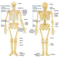 25 melhores ideias de Esqueleto humano anatomia no Pinterest