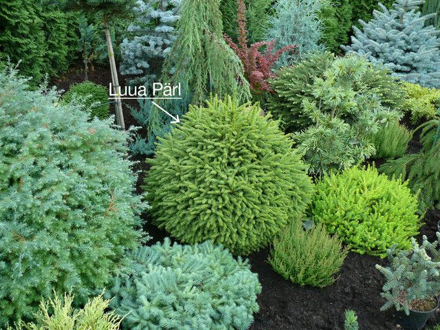 Dwarf conifers i love the different blues and greens and yellows not to mention the beautiful - Evergreen landscaping ideas ...