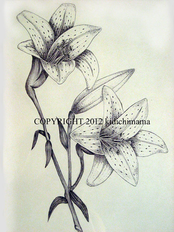 original pen and ink tiger lily drawing on white by kidichimama 3000