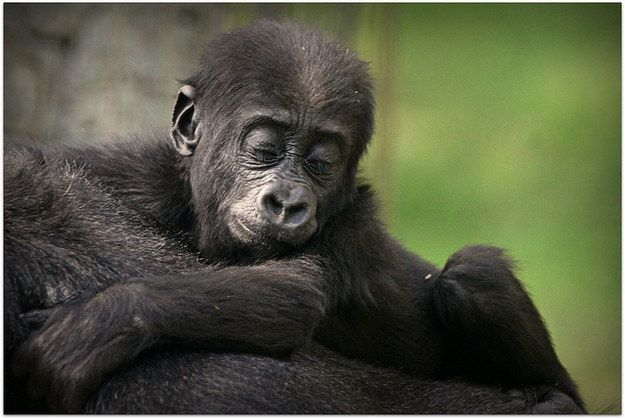 Gorillas   A Definitive Ranking Of The Cutest Baby Animals