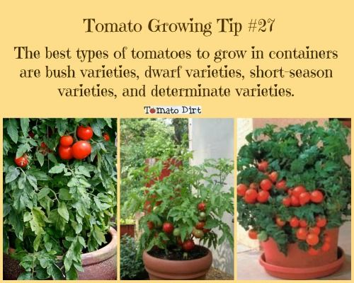 The best tomato varieties to consider when choosing tomatoes for containers http www - Best tomato plants for container gardening ...