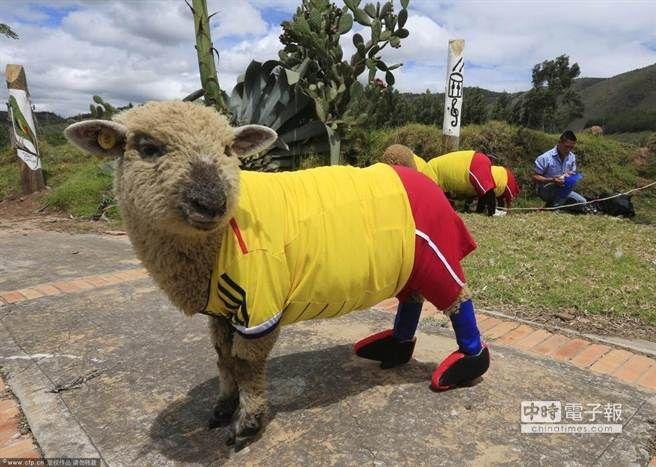 農民給他們的羊穿上球衣,迎接巴西世界盃的到來。(圖/騰訊體育提供)