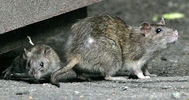 Rats exonerated in 14th century spread of bubonic plague - Science - The Boston Globe
