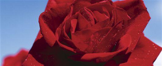 Mit Rosenkrankheiten richtig umgehen - Rosen, Tipps, Pflanzen, Düngen, Topfpflanzen, Frühling