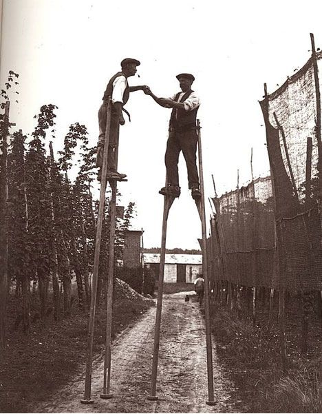 Hops harvesting before pulley systems were used